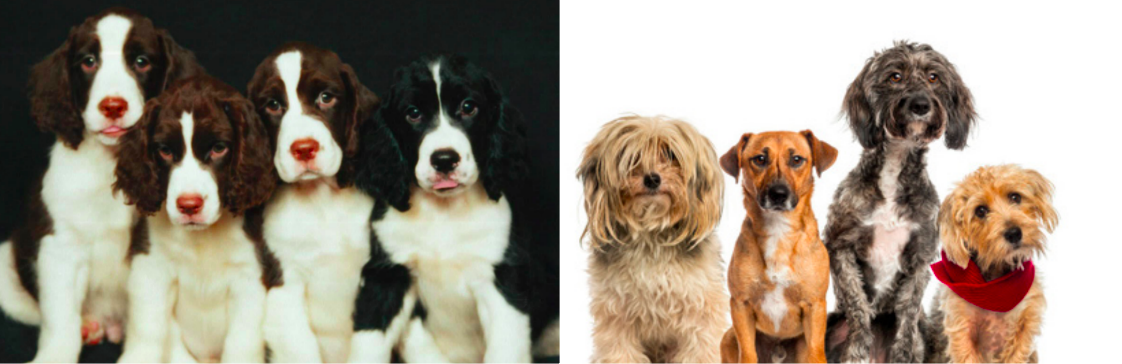 Should You Get a Purebred or a Mutt?