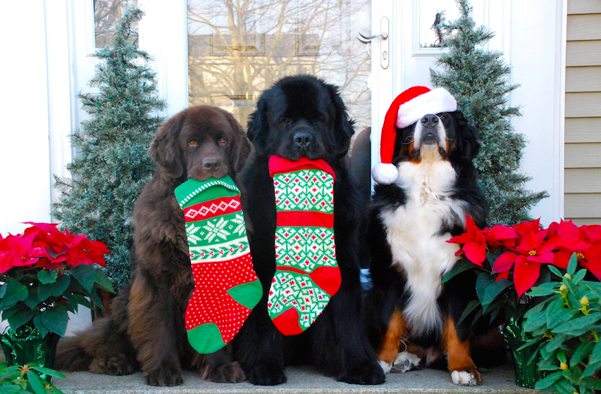dog holiday cards, stockings