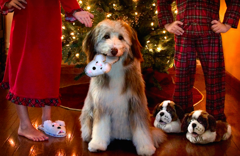 pup holiday cards, puppy eating slippers