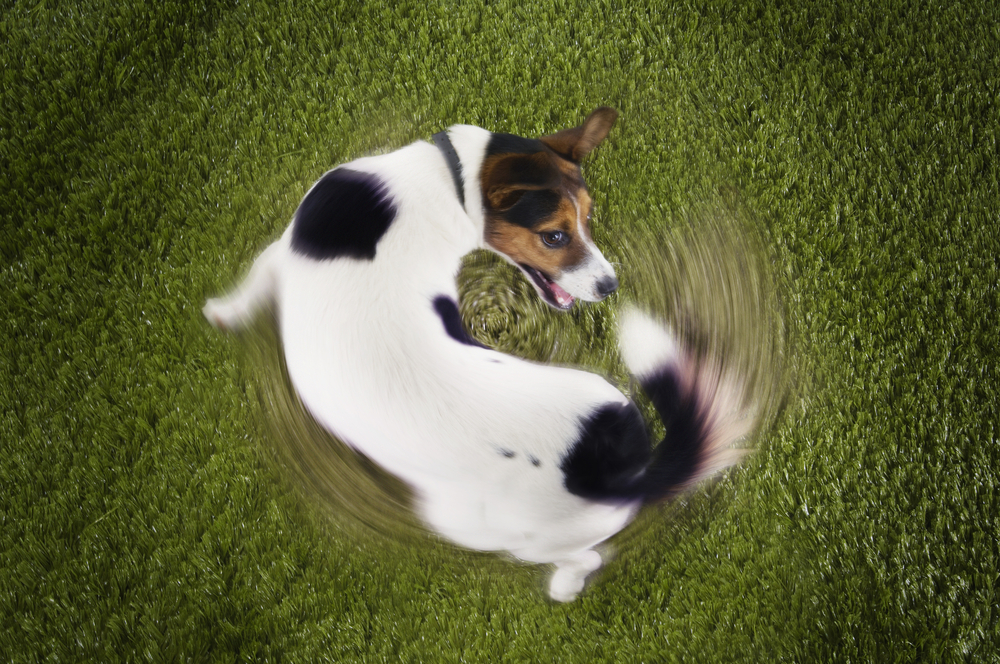 Pancho Explains: Why Dogs Chase Their Tails