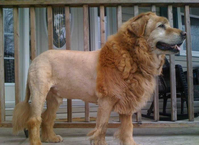 grooming gone wild, dog with lion cut
