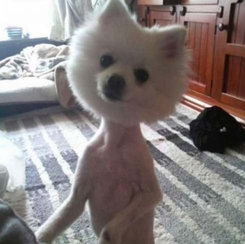 grooming gone wild, dog with no fur