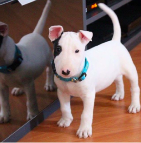 dogs of Instagram, Bull Terrier Pics
