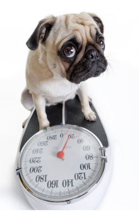 Tipping the Scales? 10 Tips to Fight Pet Obesity