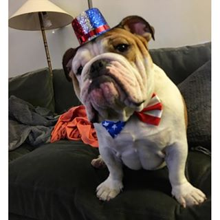 dogs of Instagram, King Bently the Bulldog
