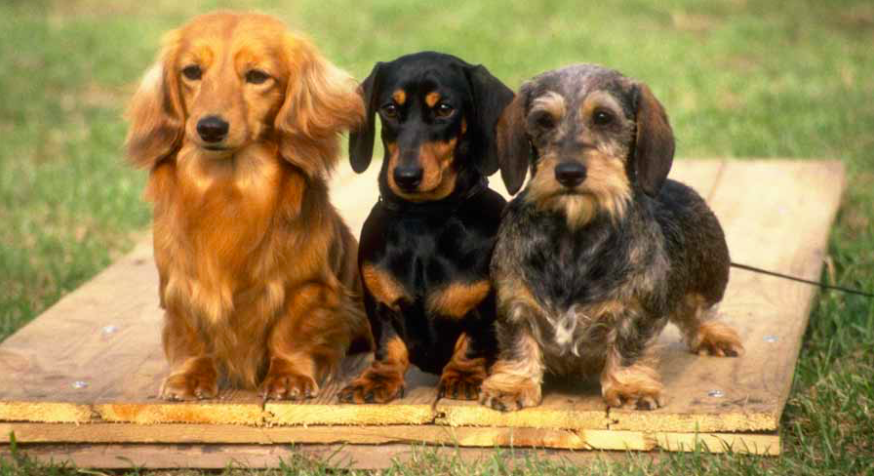 Breed Deets: Dachsund- The Pros and Cons