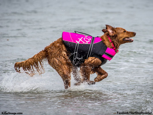 Ricochet the surfing therapy dog running in water