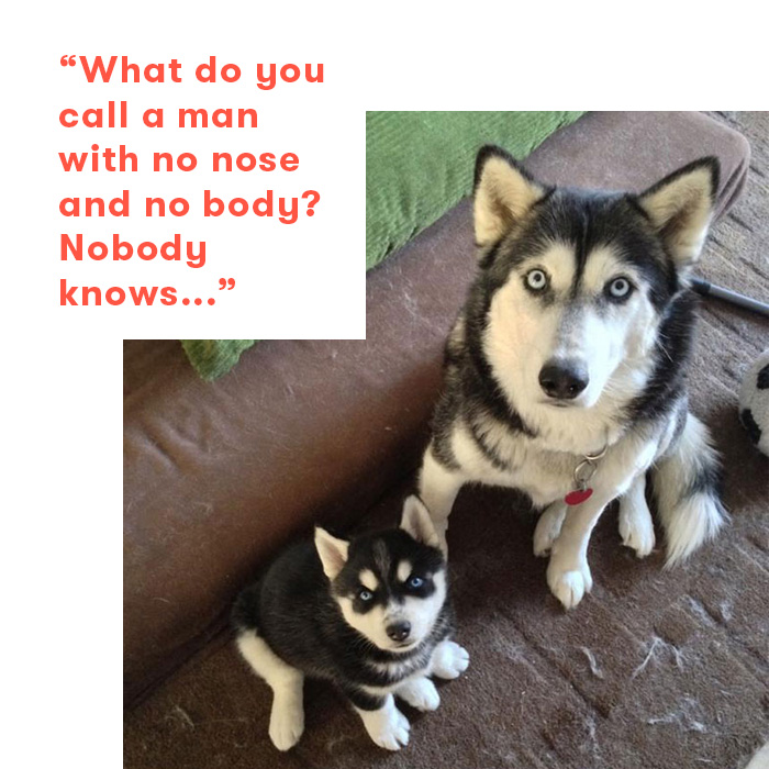 Dad jokes as told by dogs, huskies