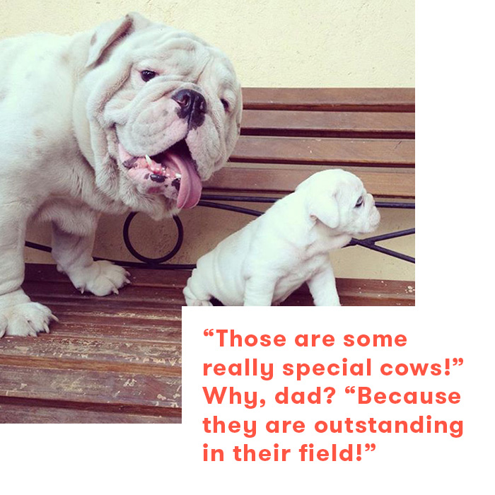 Dad jokes as told by dogs, bulldogs