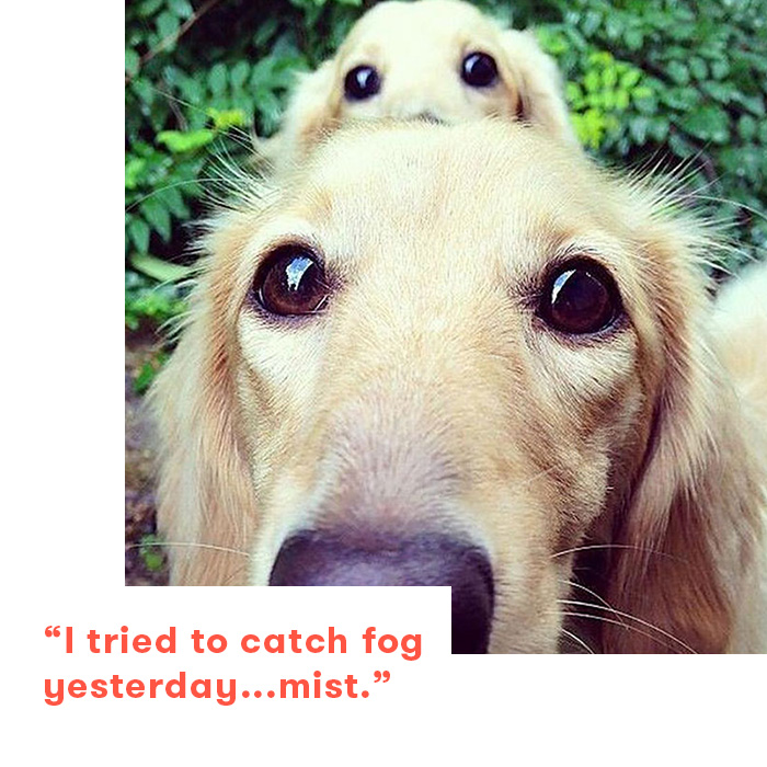 Dad jokes as told by dogs, golden retrievers