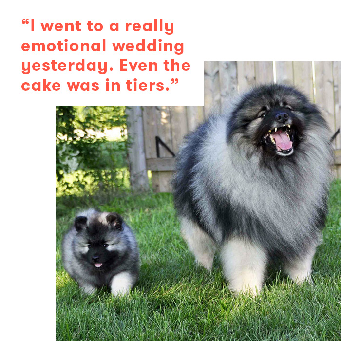 Dad jokes as told by dogs, pomeranians