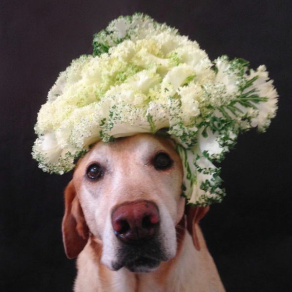 Chester the balancing lab, balancing lettuce