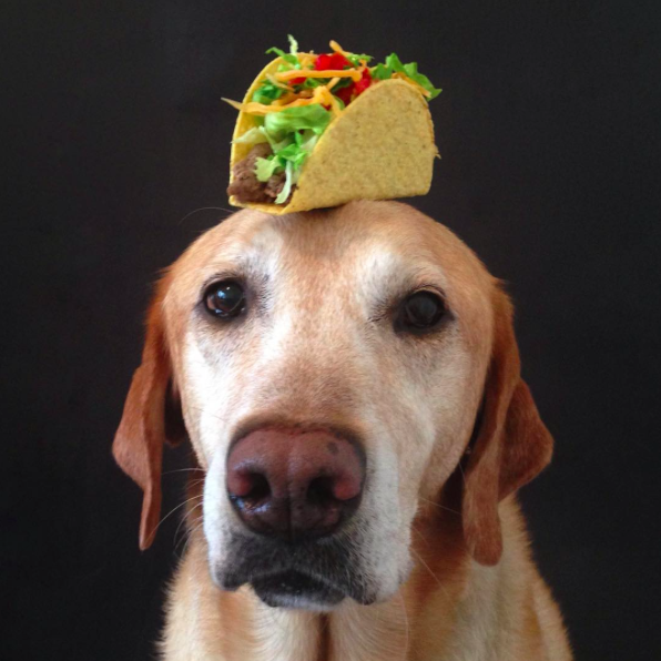 Chester the balancing lab, balancing a taco