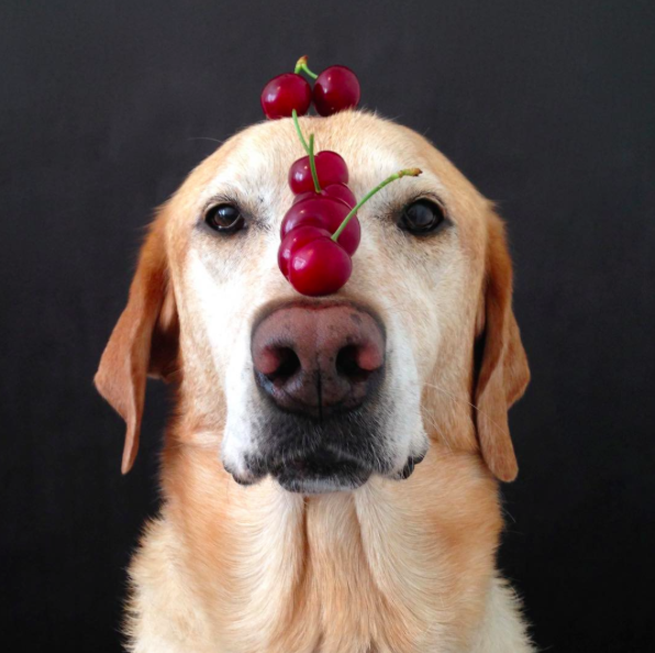 Chester the balancing lab, balancing cherries