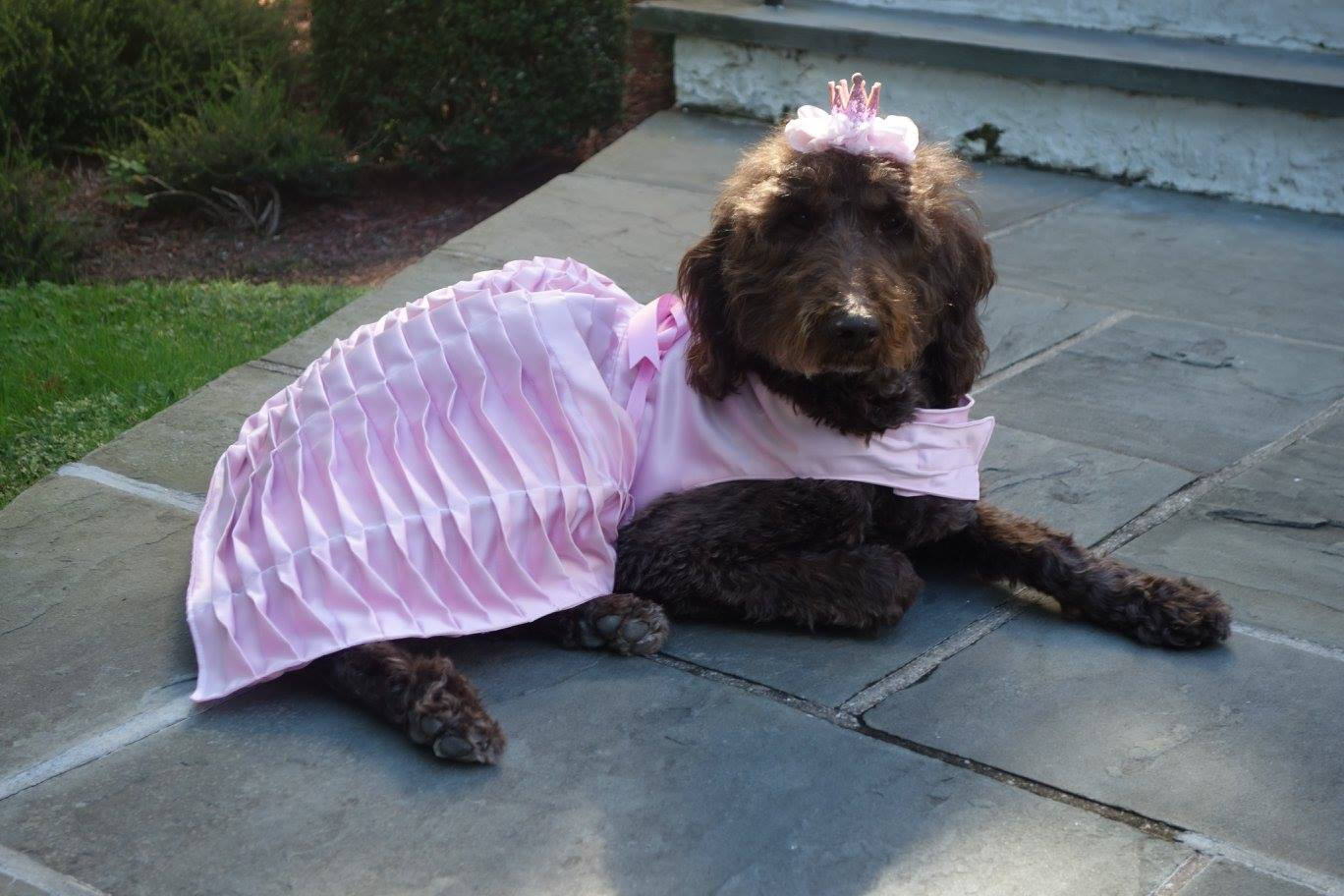 Stella the therapy dog dressed as a princess