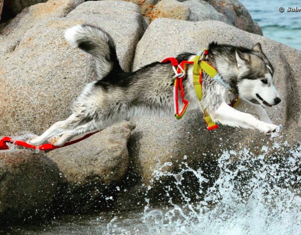 Working dogs water rescue dog