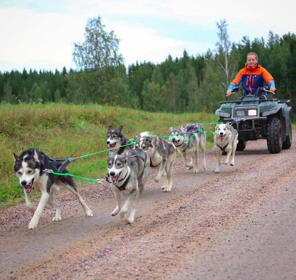 Working dogs sled dogs