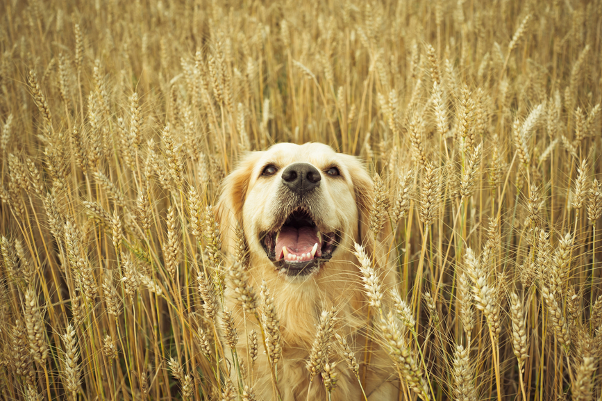 The Truth About Grain-Free Diets for Dogs