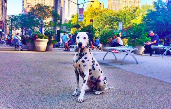 Meet the Deaf Dalmatian Who Became a Therapy Dog
