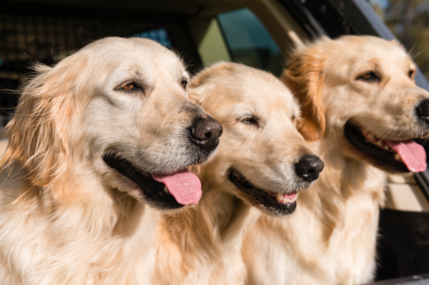 The Pros and Cons of Golden Retrievers