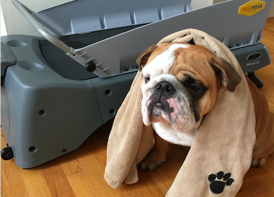 a day in the life of an ollie dog winston the bulldog