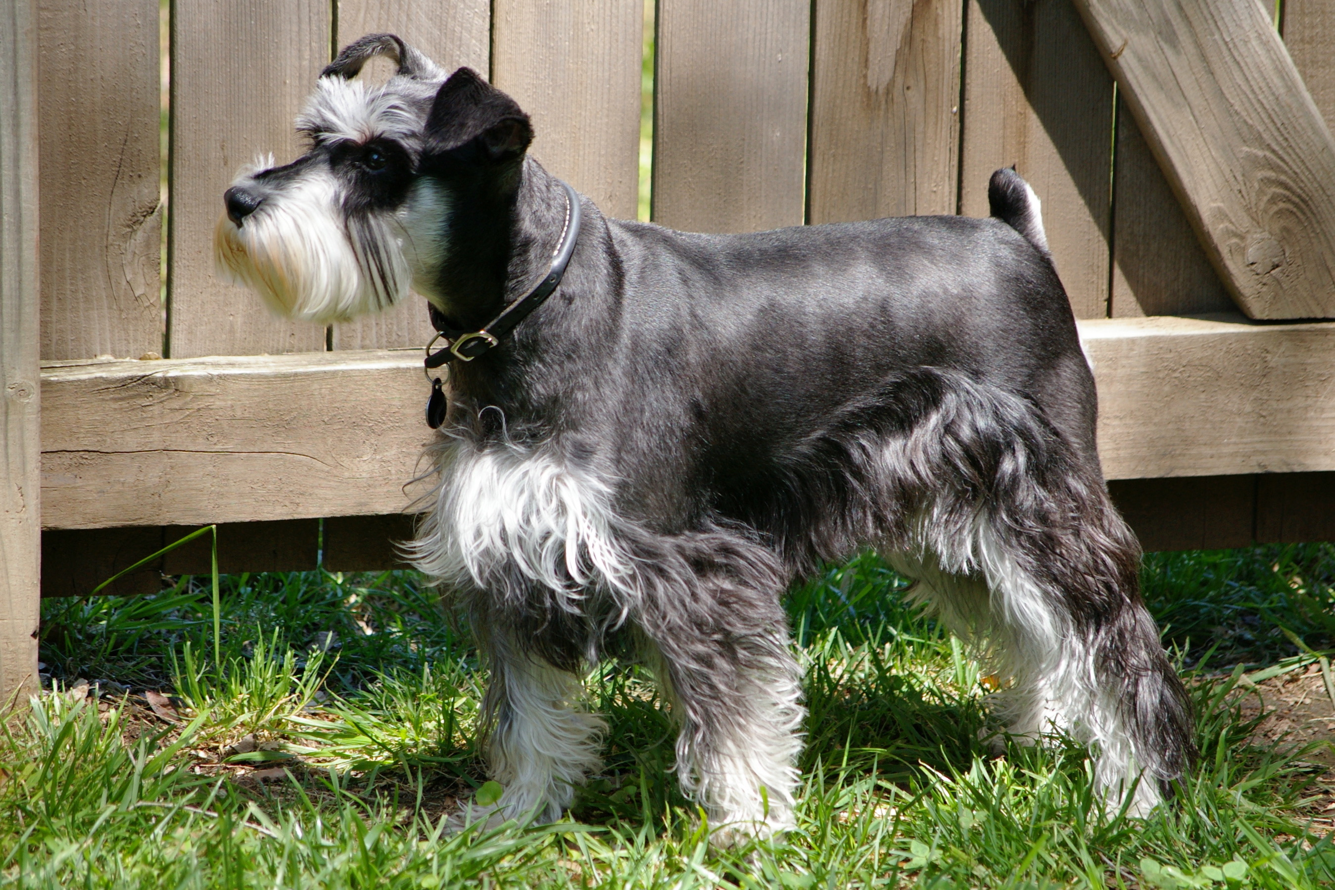 Ollie Foodie: Carter the Schnauzer
