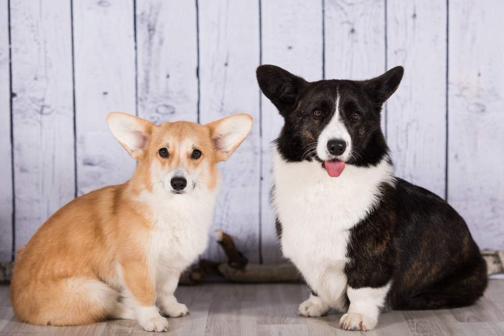 10 Things Only Corgi Parents Understand