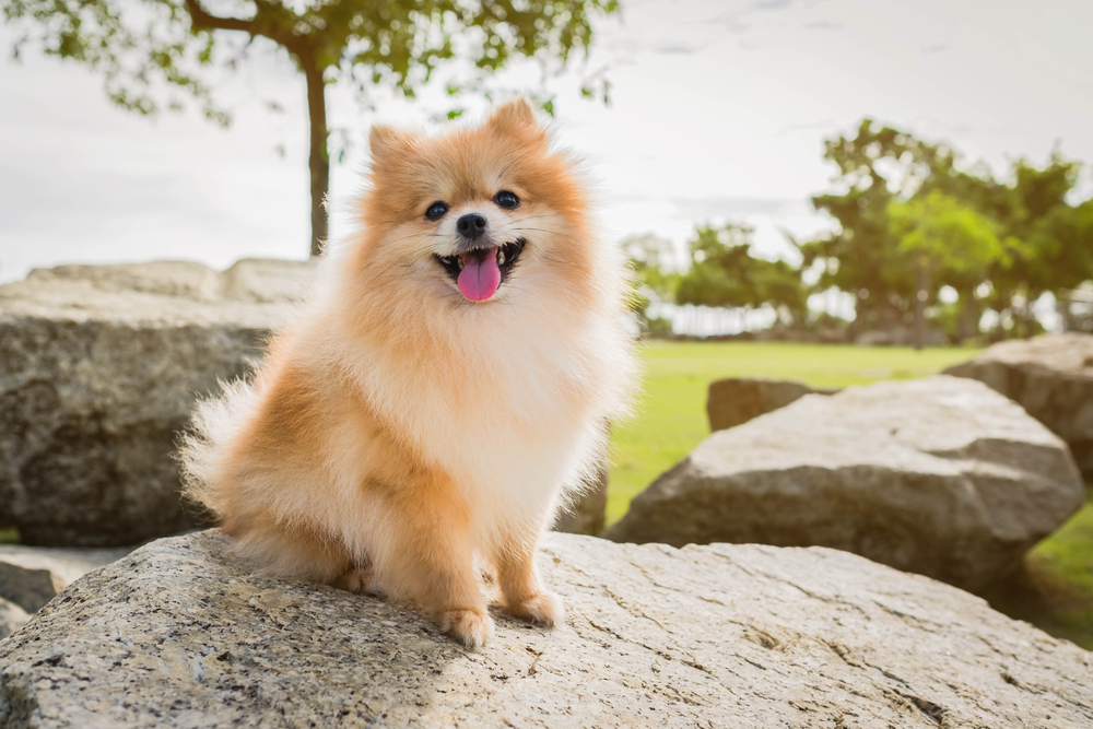 10 Things Only Pomeranian Parents Understand