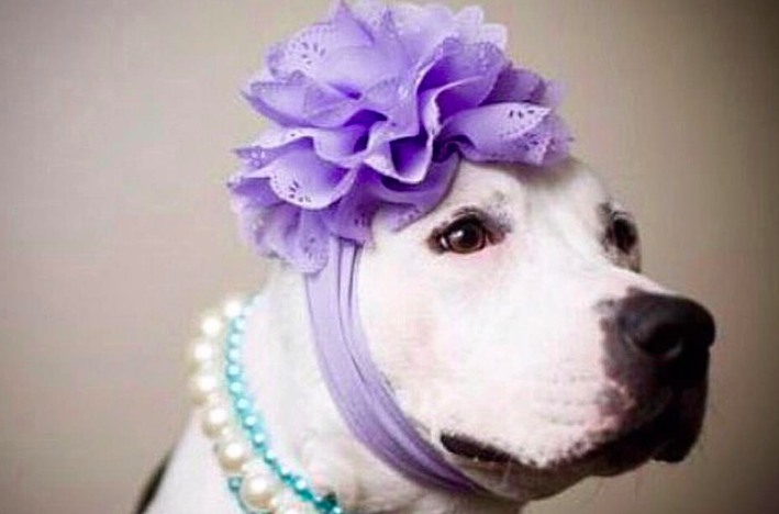 How Abigail is Fighting the Pit Bull Stigma, One Bonnet At A Time