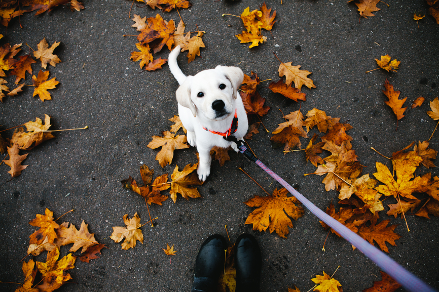 How to Rein In a Leash-Pulling Pup