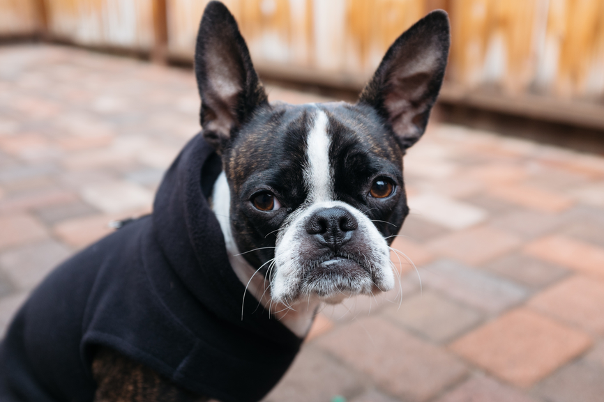 9 Things Only Boston Terrier Parents Understand