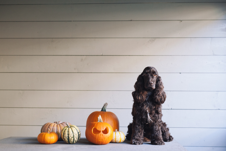 9 Healthy DIY Pumpkin Dog Treats