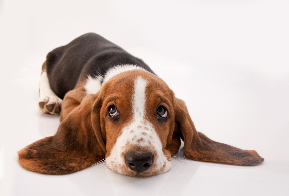 5 Natural Ways to Prevent Pup Ear Infections