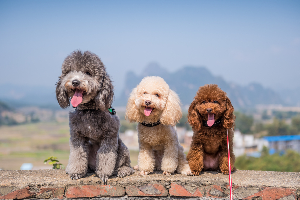 10 Things Only Poodle Parents Understand